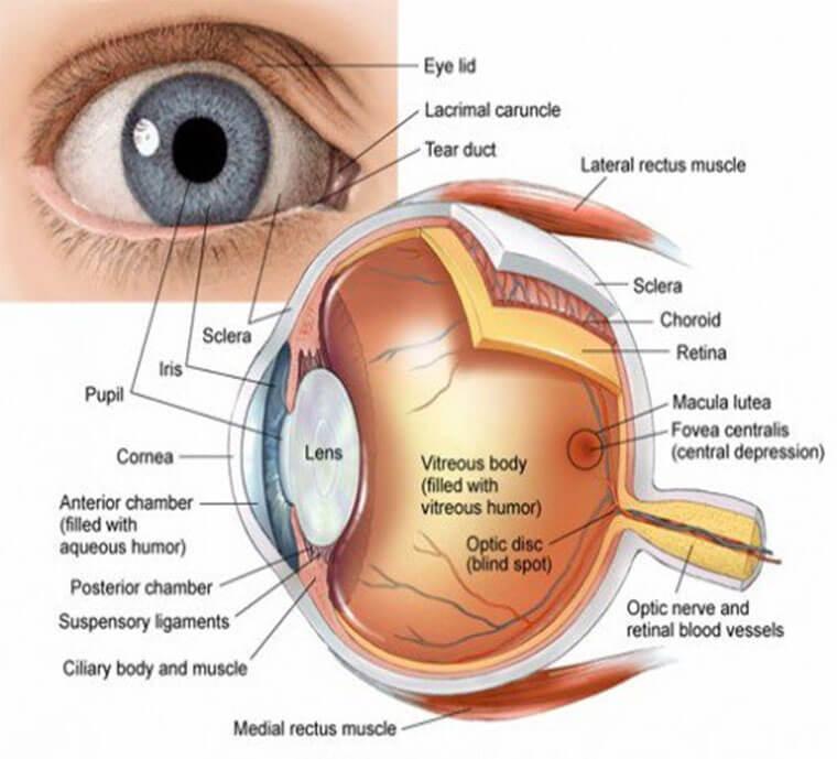 parts-of-human-eye